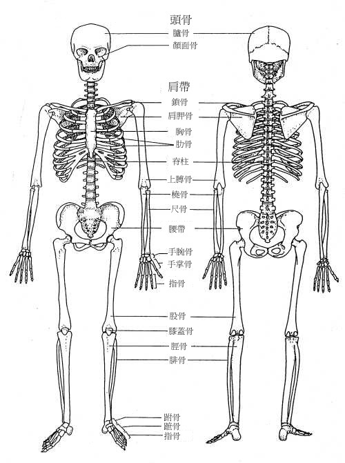 the following diagram shows the skeletal system of human. Black Bedroom Furniture Sets. Home Design Ideas