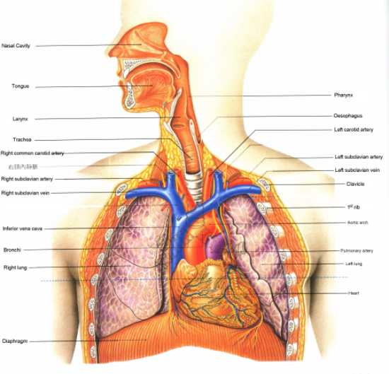 Mr lungs biology page physiology respiration human in the above diagram the lungs are the organ for gases exchange it is efficient in taking in oxygen and giving out carbon dioxide ccuart Choice Image
